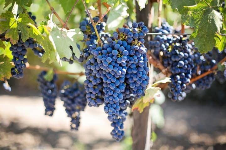 Conoce cómo bajar de peso con la dieta de la uva