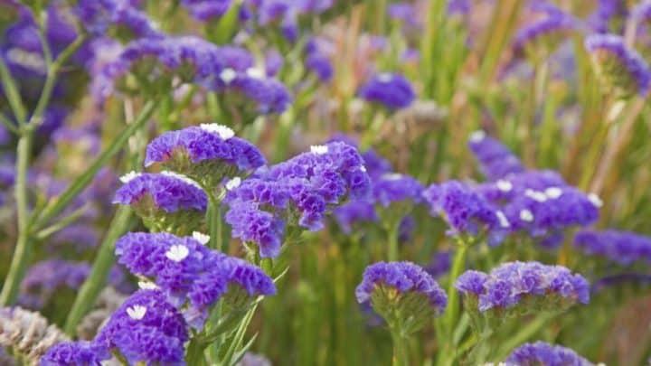 Cómo cuidar las flores siemprevivas